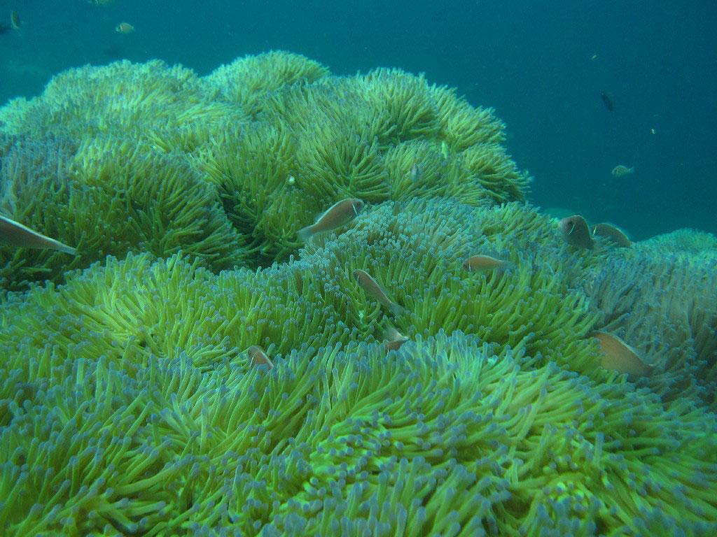 Halsband Anemonenfisch