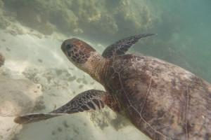 Typisch für Koh Tao: Schildkröten beim Tauchen sehen