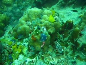 Korallenriff am Southwest Pinnacle beim Tauchen auf Koh Tao entdecken
